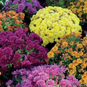 crisantemo bioflor
