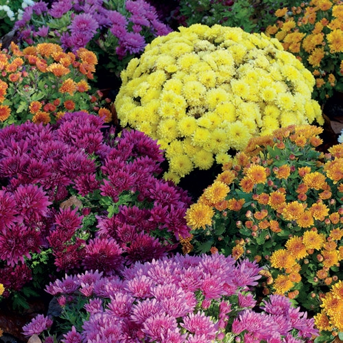 crisantemo-bioflor
